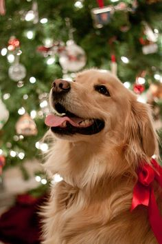 Astonishing Everything You Ever Wanted to Know about Golden Retrievers Ideas. Glorious Everything You Ever Wanted to Know about Golden Retrievers Ideas. Cute Baby Dogs, Cute Dogs And Puppies, Cute Baby Animals, Doggies, Christmas Puppy, Christmas Animals, Merry Christmas, Christmas Lights, Cute Dog Wallpaper