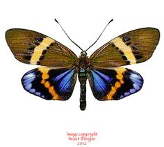 butterflies native to thailand - Google Search