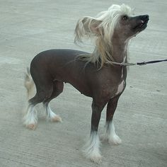 Chinese crested hairless? The next dog I WANT and won't get :( I love them!!!!!
