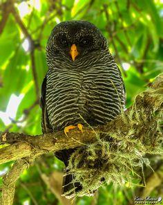 Black-banded Owl- Strix huhula by kacau Oliveira on 500px