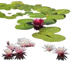 ACUÁTICAS Water-lily PNG by MariaSemelevich