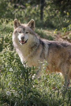 Male Mexican Grey Wolf