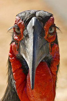 No mascara by Tim Allen-Rowlandson on 500px - Ground Hornbil