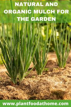 Natural and organic mulch for the garden will help protect your soil and grow a thriving garden. Find out more! #gardenmulch #organicmulch #bestgardenmulch #mulch Amending Clay Soil, Wood Chip Mulch, Tree Mulch, Mushroom Compost, Garden Mulch, Organic Mulch, Ground Cover Plants, Garden Care, Amazing Gardens