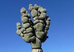 Crested Saguaro.