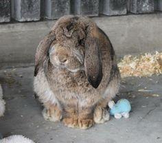 Petfinder  Adoptable | Rabbit | French-Lop | Delta, BC | Moe Moe