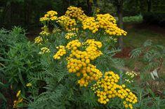 Garden Assessment: Season I | Thomas Jefferson | Demonstration Garden | Tansy