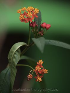 Milkweed..just planted this to attract Monarch butterfly