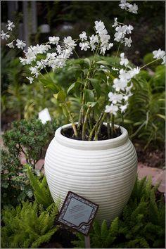 Colmanara Massai Orchidee rote Farbe Zimmerpflanzen Pflege Tipps ...