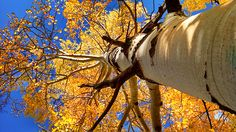 Looking up through a fall aspen tree. (Photo submitted by Casey Schroeder)