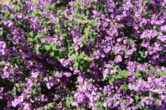 Prostanthera incisa (Australian Mint Bush) Planted May '12