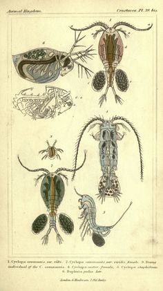 The animal kingdom, arranged according to its organization London :G. Henderson,1834. biodiversitylibrary.org/page/2459296