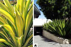 Piteira, conheça esta e mais 25 plantas resistentes ao sol. Succulent Gardening, Tropical Design, Plantar, Outdoor Plants, Garden Inspiration, Terrace, Succulents, Landscape, Irene
