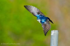 A Tree Swallow...They fly so fast it is hard to capture them..the focus is a little soft but hey, you try capturing the little buggers in flight!