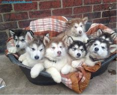 Almost looks like a heart full of husky puppies. ♥