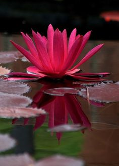 Waterlily nymphaea — ''The water lily (Nymphaea) has been casting its spell on… Exotic Flowers, Amazing Flowers, My Flower, Beautiful Flowers, Lotus Flower, Lily Pond, Water Flowers, Aquatic Plants, Planting Flowers