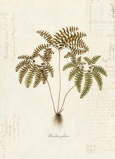Vintage Botanical Fern Plant on French Ephemera Print 8x10 P37 | Etsy Antique Illustration, Botanical Illustration, Botanical Drawings, Botanical Prints, Fine Art Prints, Framed Prints, Canvas Prints, Vintage Prints, Maidenhair Fern