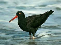 Canarian Oystercatcher or Canary Islands Oystercatcher, Haematopus meadewaldoi,[1] was a shorebird endemic to Fuerteventura, Lanzarote, and their offshore islets (Islote de Lobos and the Chinijo Archipelago) in the Canary Islands, Spain.