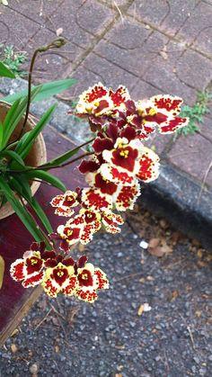 Tolumnia hybrid Orchids   Tolumnia hybrid