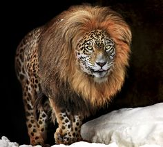 """This photo by Klaus Wiese is identified as a """"panion"""", a panther- lion hybrid. Lions, Jaguars and leopards belong to the panther genus. These are possible big cat hybrids but are extremely rare: Male lion + female leopard = lipard Female lion + male leopard = leopon Male lion + female jaguar = liguar Female lion + male jaguar = jaglion"""