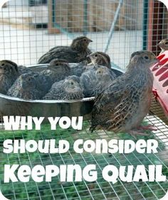 Find out reasons why you should consider keeping quail.  They are a great multi-purpose bird and often you can keep them in areas that aren't zoned for chickens and ducks.