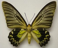 Troides magellanus magellanus (C. Collection and photo: © Mike J. Flying Insects, Bugs And Insects, Butterfly Photos, Butterfly Print, Spider Face, Butterfly Species, Black Garden, Vintage Butterfly, Weird And Wonderful