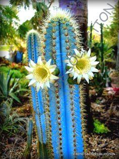 Pilosocereus purpureus @ rare color columnar cacti outdoor cactus seed 100 SEEDS for sale online Cacti And Succulents, Planting Succulents, Planting Flowers, Cactus Flower, Flower Pots, Cactus Cactus, Cactus With Flowers, Cactus Plants For Sale, Flower Bookey