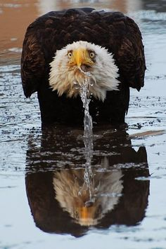 Now this is a pretty undignified pose for our country's National Emblem, the American Bald Eagle!!