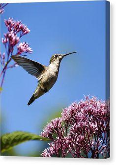 Hummingbird Modern Beauty, Hummingbird Canvas Art, Hummingbird Print, Canvas…