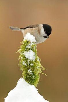 Chickadee | Winter Animals