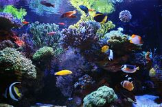 A reef tank would be so much easier without FISH. Have you ever thought about not having fish in your reef tank? Marine Aquarium, Reef Aquarium, Saltwater Aquarium, Brittle Star, Acrylic Aquarium, Nano Tank, Green Bubble, Purple Fire, Question Of The Day