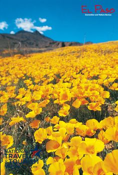 Poppies in Bloom in El Paso, Texas    www.liberatingdivineconsciousness.com