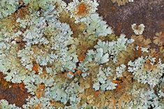 Lichens on a Rock | by Dr Steven Murray