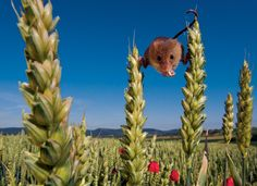 Cool photo from National Geographic, showcasing a harvest mouse doing some incredible acrobatics with its tail. Photo courtesy of J. Klein and M. Hubert, Biosphoto via National Geographic National Geographic Photography, National Geographic Photos, Animal Pictures, Cool Pictures, Cool Photos, Amazing Photos, Nature Pictures, Funny Pictures, Beautiful Creatures