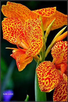 Garden Love, Canna Lily Flowers