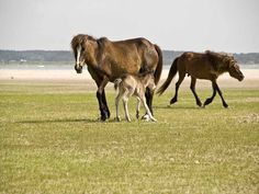 Do the Wild Horse and Shelling Safari in Beaufort, NC