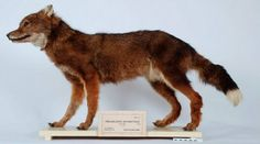 Mounted skin of female Falkland Island wolf - View amazing Falkland Island wolf photos - Dusicyon australis - on Arkive Extinct Animals, Rare Animals, Unusual Animals, Wolf Photos, Paint Stripes, Camping Gifts, Natural History, Modern History, Prehistoric