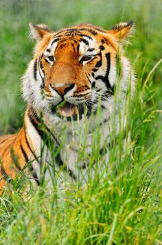 Tiger in the grass by Tambako the Jaguar on Flickr.