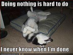 Looks like my Husky sleeping upside down too. Funny Dog Quotes - Funny Husky Meme - Funny Husky Quote - The post Lol! Looks like my Husky sleeping upside down too. Funny Dog Quotes appeared first on Gag Dad. Husky Humor, Husky Quotes, Funny Husky Meme, Dog Quotes Funny, Funny Dogs, Funny Animals, Cute Animals, Cats Humor, Funny Kitties