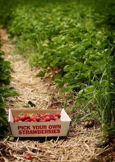 Im Feld Erdbeeren pflücken und das lokale Obst genießen: Genau so schmeckt Sommer!