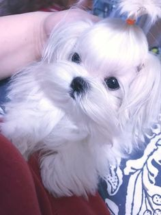 My husband said he saw a white Yorkie and I said no way. It is a Morkie I found out, part Maltese and part Yorkie. I have had both and Yorkies if all like Fifi are my loves.