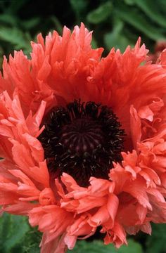Frilled poppy