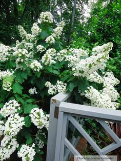 "Oakleaf hydrangea - a ""must have"" in the southern garden - Botanica Atlanta 