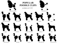 One of the popular poodle haircuts or clip are the Lion Clip and the Teddy bear clip. You can choose which of these coat styles is best for your Poodle. Teddy Bear Puppies, Bear Puppy, Poodle Puppies, Lab Puppies, Dog Grooming Styles, Poodle Grooming, Pet Grooming, Positive Dog Training, Basic Dog Training