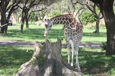 Kilamanjaro Safaris, one of my favorite rides! #animalkingdom #safari