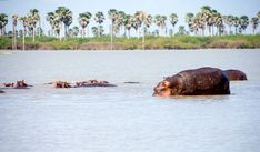 Pod of hippos in the Rufiji river, Selous Game Reserve. African Great Lakes, River Camp, Game Reserve, Wild Dogs, African Safari, Bird Species, Bird Watching, World Heritage Sites, Tanzania