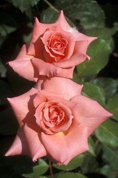 """""""Sonia"""" grandiflora rose -- impossible to really photograph, they are subtle pink/yellow/ tangerine/apricot blend that is constantly changing.  The flowers are huge and perfectly formed."""