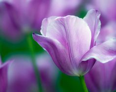 Purple tulip - Flowers Wallpaper ID 768535 - Desktop Nexus Nature