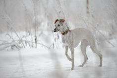 Whippet walking in snow Most Beautiful Dogs, Animal Magic, Lurcher, Irish Wolfhound, Best Dog Breeds, Italian Greyhound, Whippet, Mans Best Friend, Dog Life