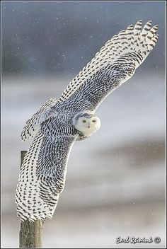 White Owl Master Teacher ~ Messenger between Spirit and Substance ~ Sees deep into the Soul and therefore also into what is put in front of the Soul. This is the animal I would be. Nature Animals, Animals And Pets, Cute Animals, Beautiful Owl, Animals Beautiful, Tier Zoo, Owl Pictures, Owl Bird, Snowy Owl